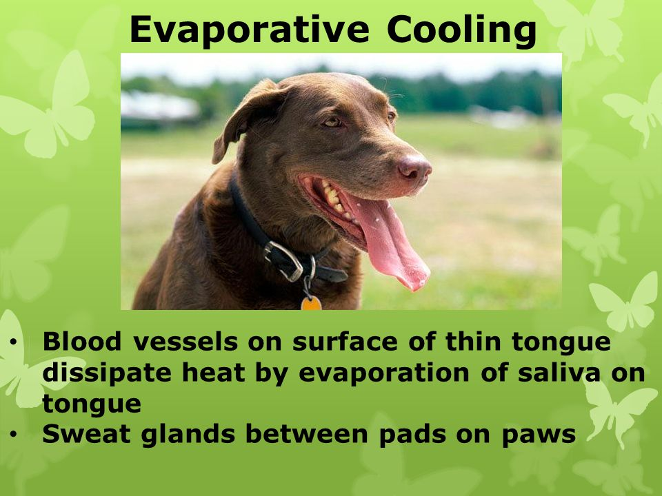 Evaporative Cooling Blood vessels on surface of thin tongue dissipate heat by evaporation of saliva on tongue Sweat glands between pads on paws