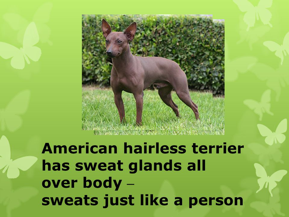 American hairless terrier has sweat glands all over body – sweats just like a person