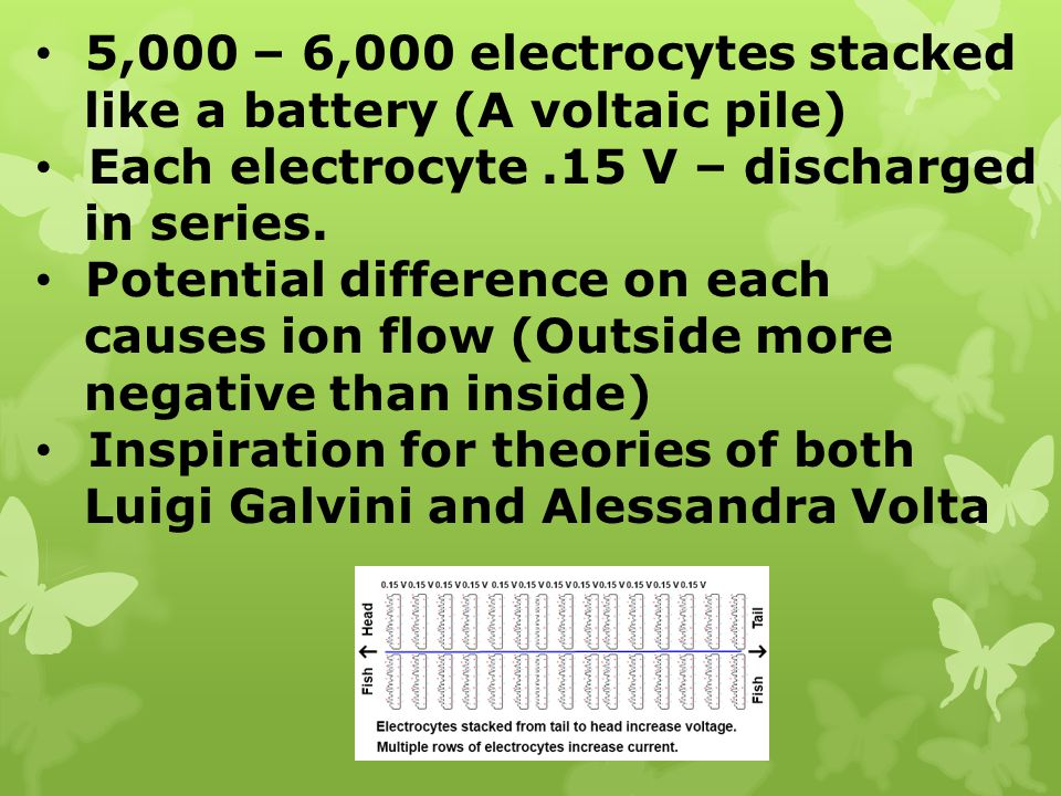 5,000 – 6,000 electrocytes stacked like a battery (A voltaic pile) Each electrocyte.15 V – discharged in series. Potential difference on each causes i