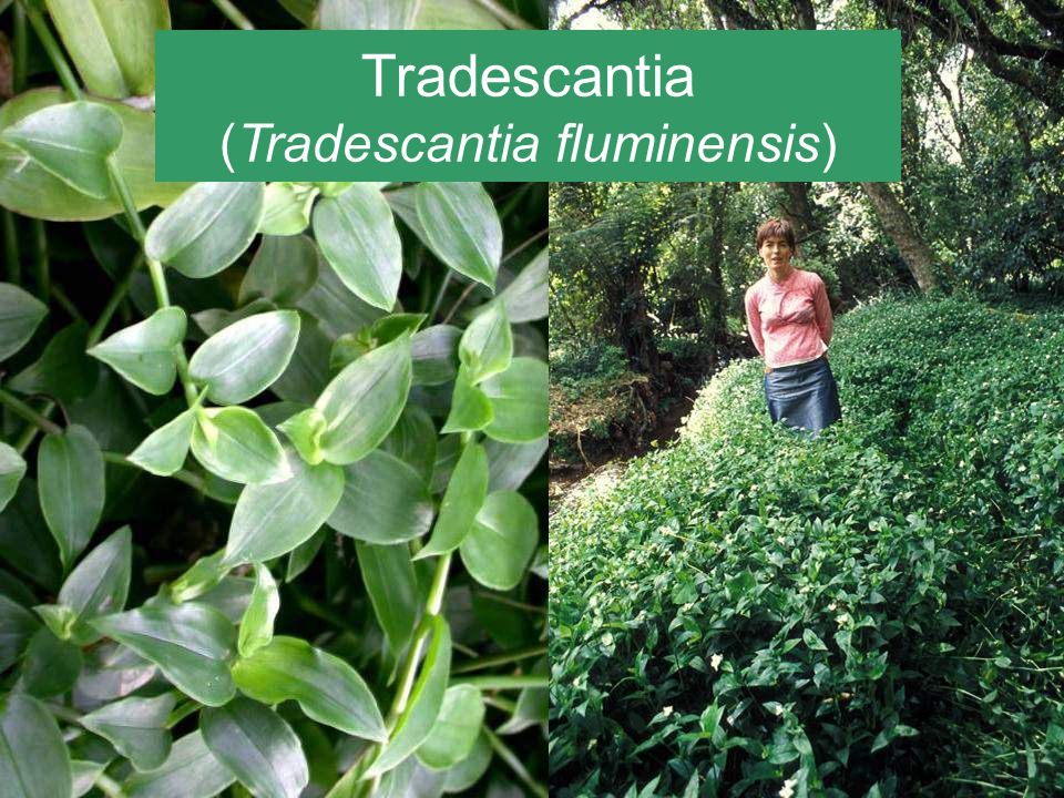Tradescantia (Tradescantia fluminensis) Native to South America A serious weed in a number of places around the world including New Zealand, Australia and the USA.