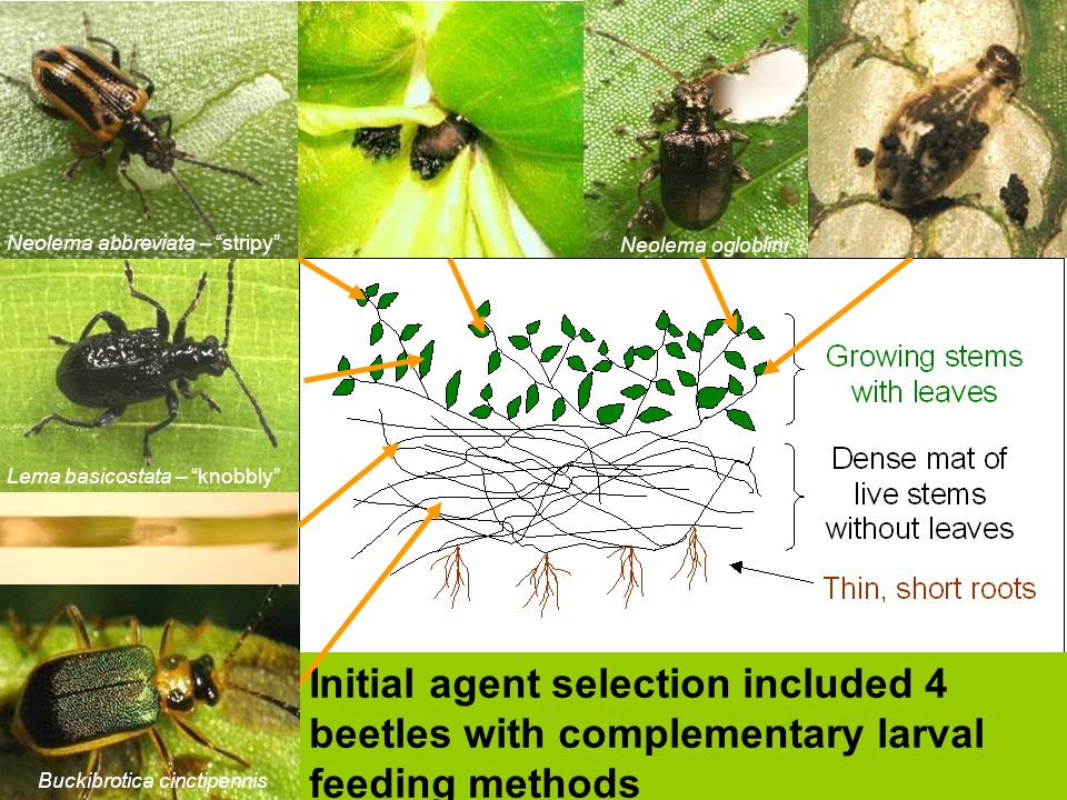 Initial agent selection included 4 beetles with complementary larval feeding methods Neolema ogloblini Lema basicostata – knobbly Buckibrotica cinctip