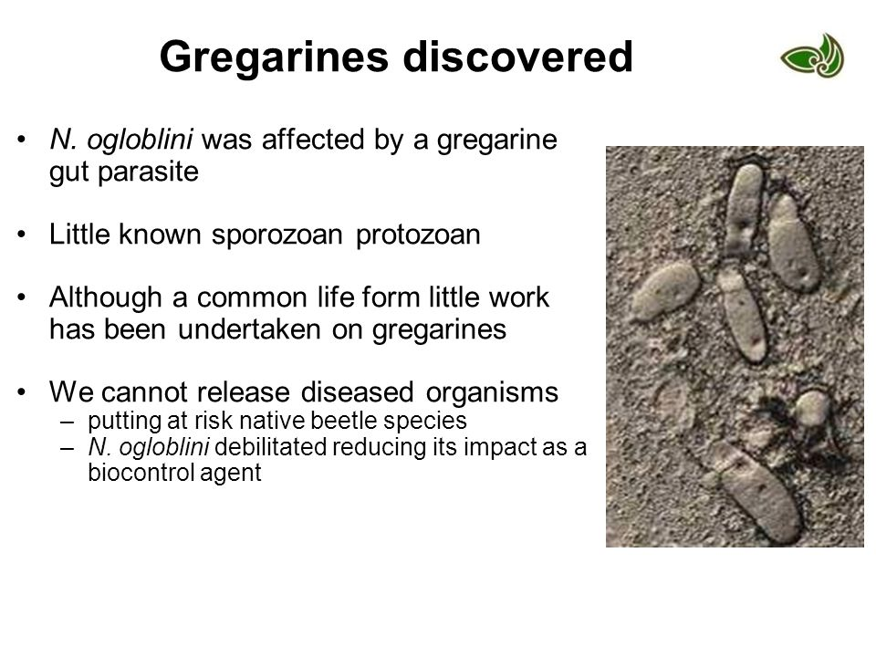 Gregarines discovered N. ogloblini was affected by a gregarine gut parasite Little known sporozoan protozoan Although a common life form little work h