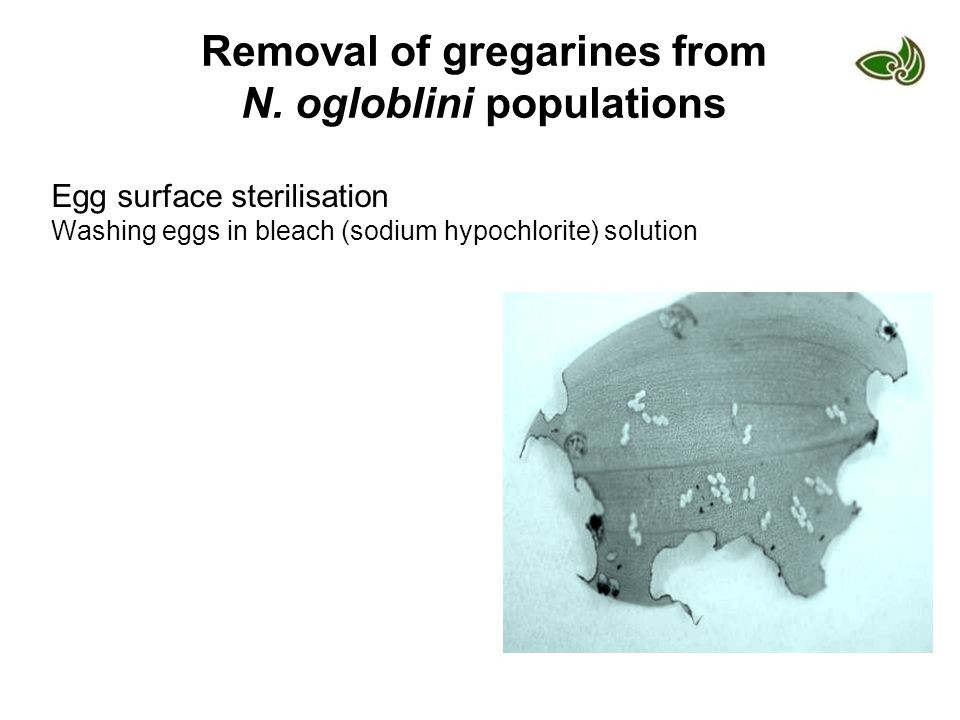 Removal of gregarines from N. ogloblini populations Egg surface sterilisation Washing eggs in bleach (sodium hypochlorite) solution