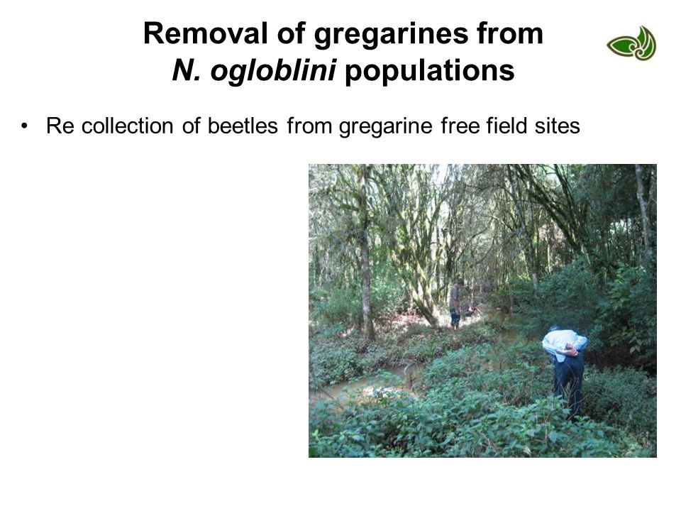 Removal of gregarines from N. ogloblini populations Re collection of beetles from gregarine free field sites