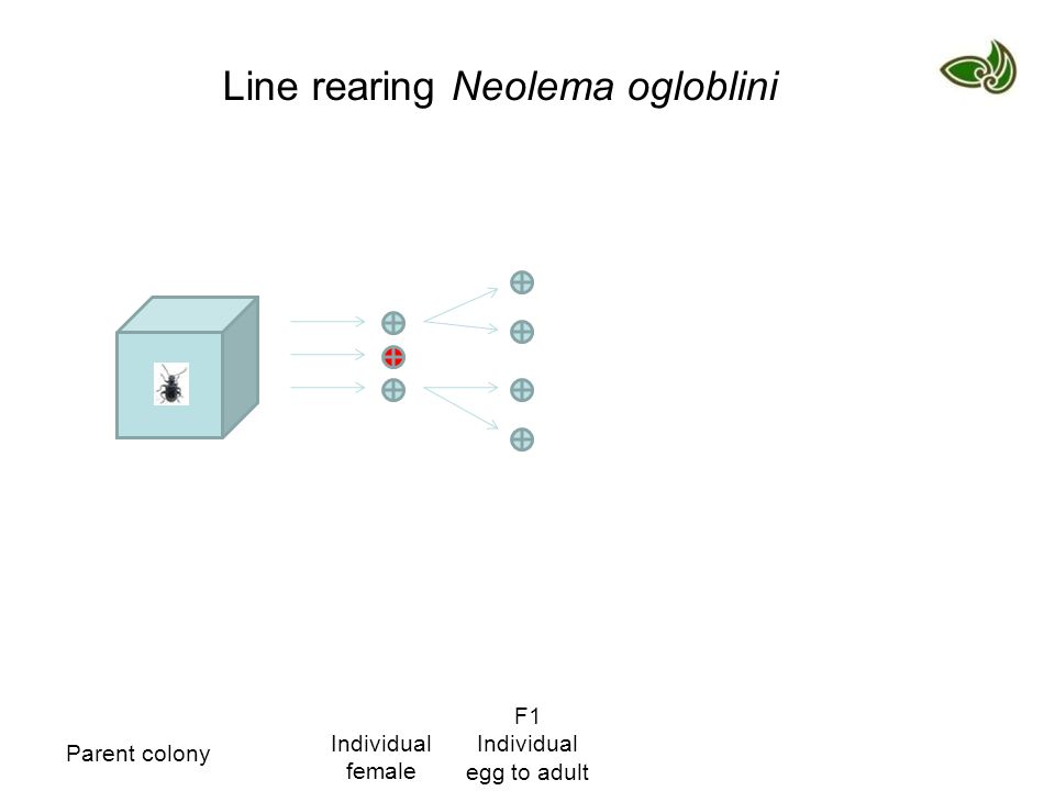 Parent colony Individual female F1 Individual egg to adult Line rearing Neolema ogloblini