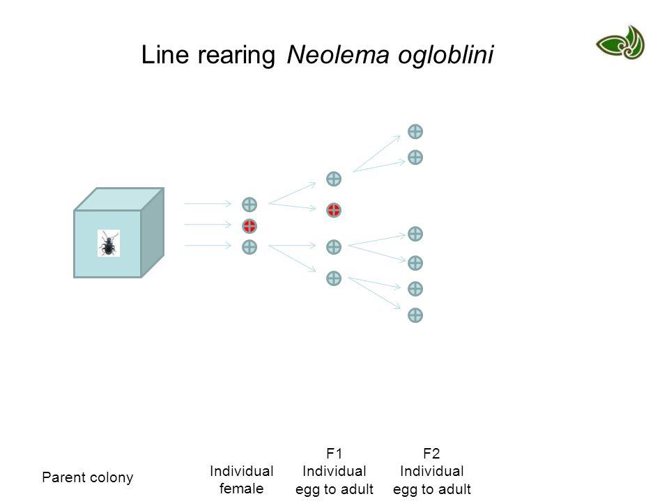 Parent colony Individual female F1 Individual egg to adult F2 Individual egg to adult Line rearing Neolema ogloblini