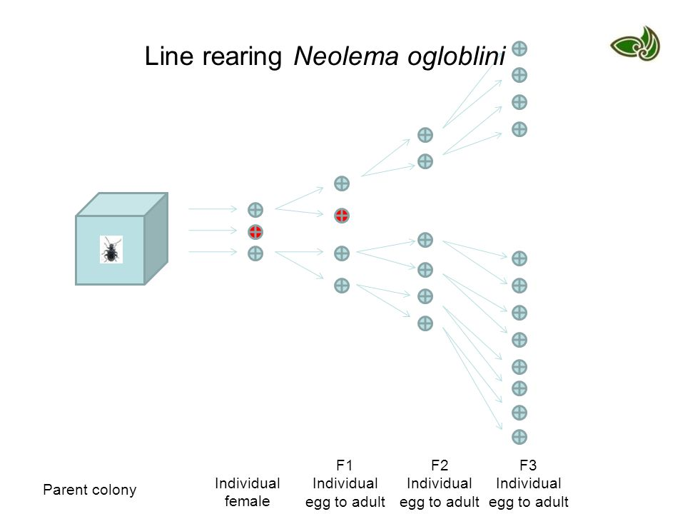 Parent colony Individual female F1 Individual egg to adult F2 Individual egg to adult F3 Individual egg to adult Line rearing Neolema ogloblini
