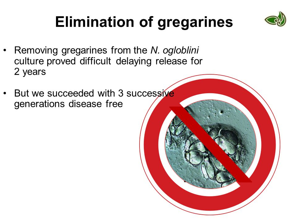 Elimination of gregarines Removing gregarines from the N. ogloblini culture proved difficult delaying release for 2 years But we succeeded with 3 succ