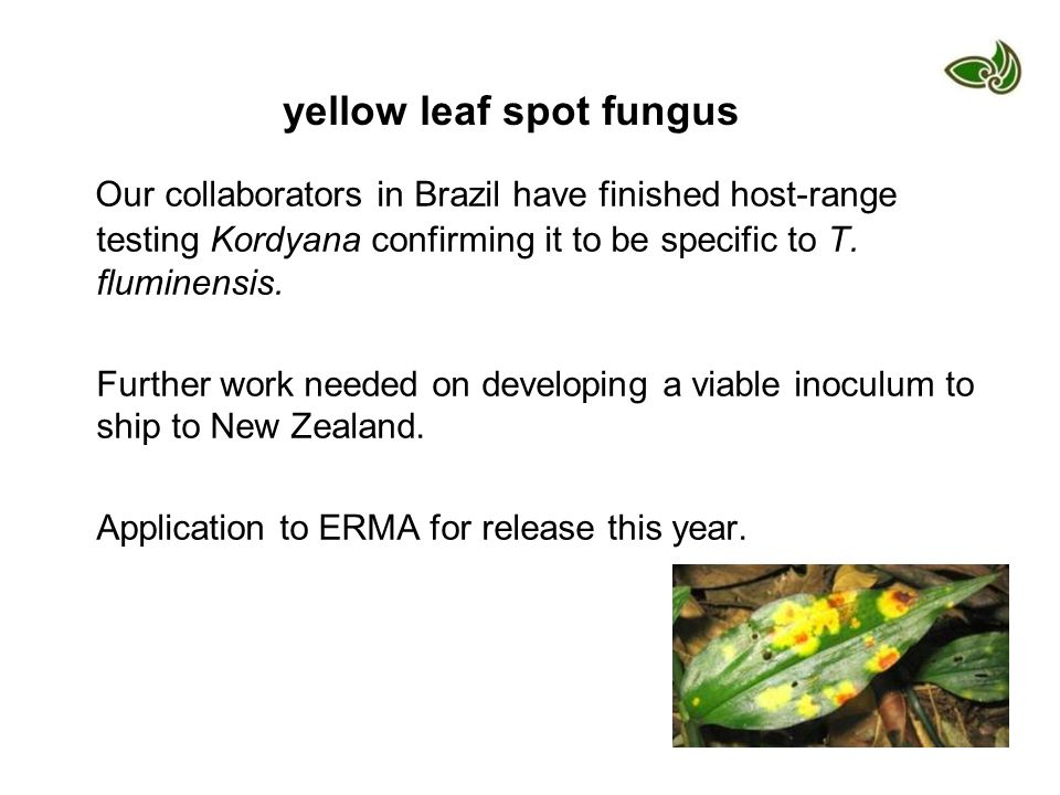 yellow leaf spot fungus Our collaborators in Brazil have finished host-range testing Kordyana confirming it to be specific to T. fluminensis. Further
