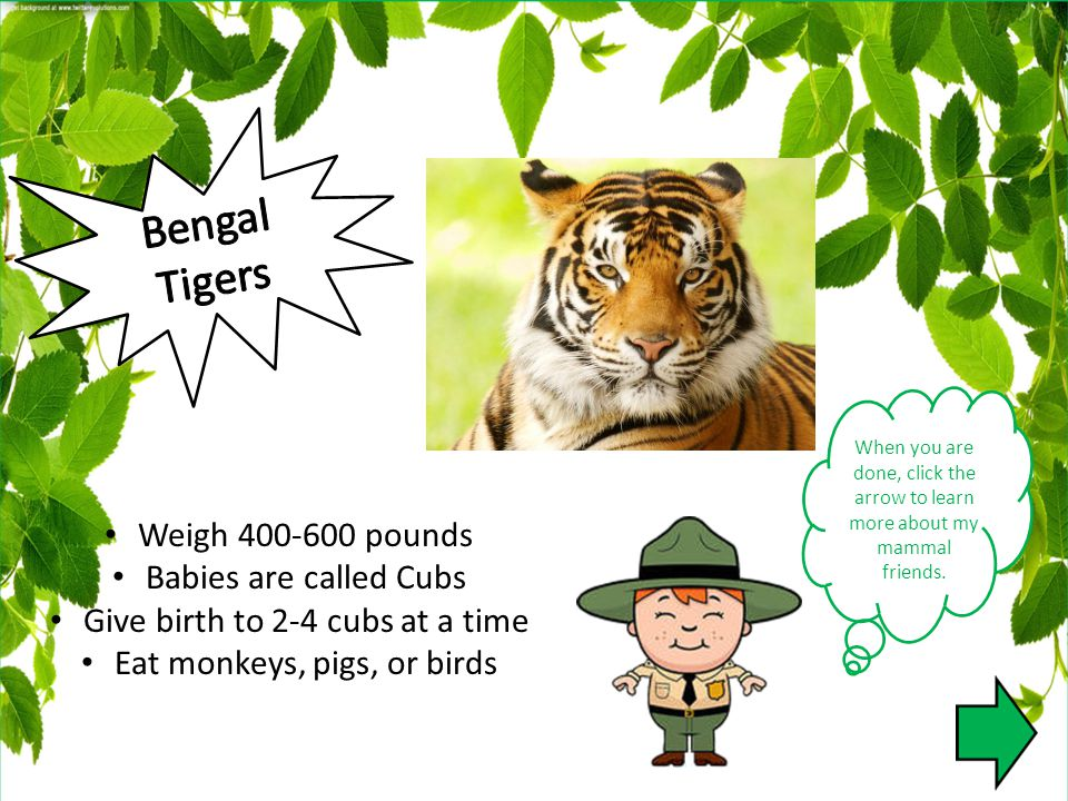When you are done, click the arrow to learn more about my mammal friends. Weigh 400-600 pounds Babies are called Cubs Give birth to 2-4 cubs at a time