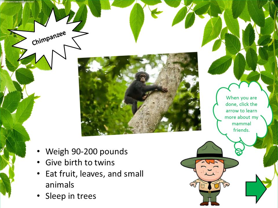 Weigh 90-200 pounds Give birth to twins Eat fruit, leaves, and small animals Sleep in trees