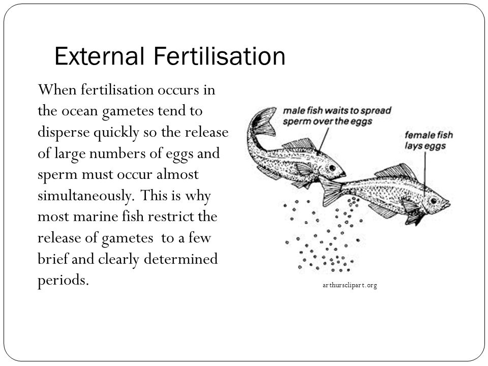 External Fertilisation When fertilisation occurs in the ocean gametes tend to disperse quickly so the release of large numbers of eggs and sperm must