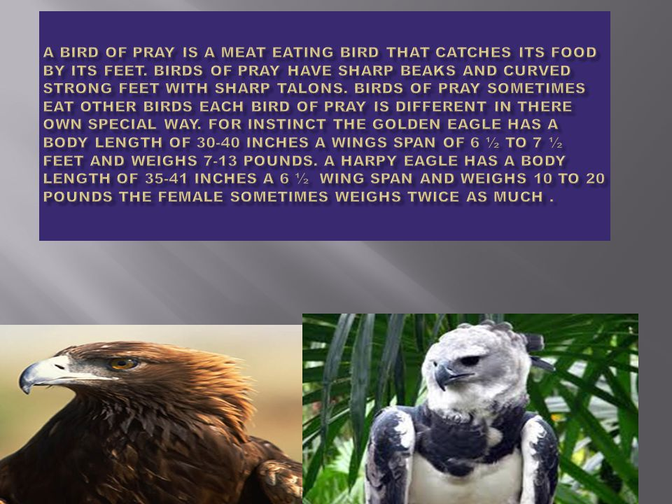 A harpy eagle is a monkey eating bird it is also one of the worlds biggest eagles.They are founds in tropical forest they lay 1 -2 eggs they also make nest out of weeds sticks and grass.