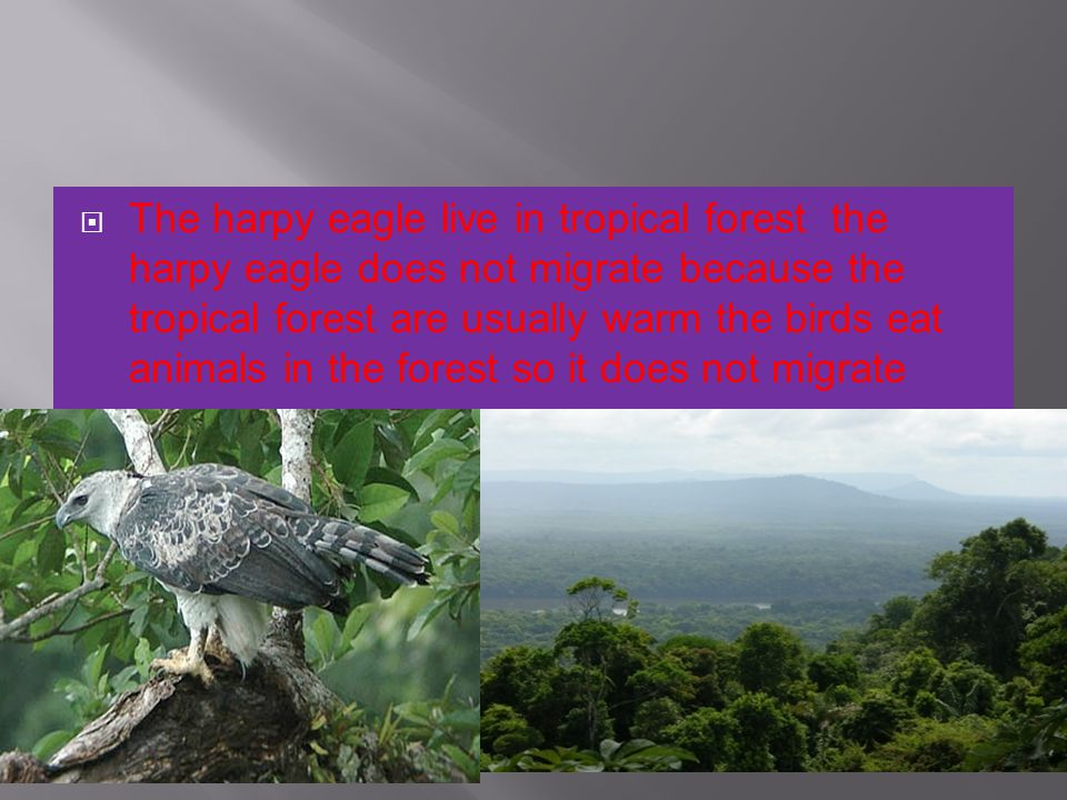 The harpy eagle live in tropical forest the harpy eagle does not migrate because the tropical forest are usually warm the birds eat animals in the for