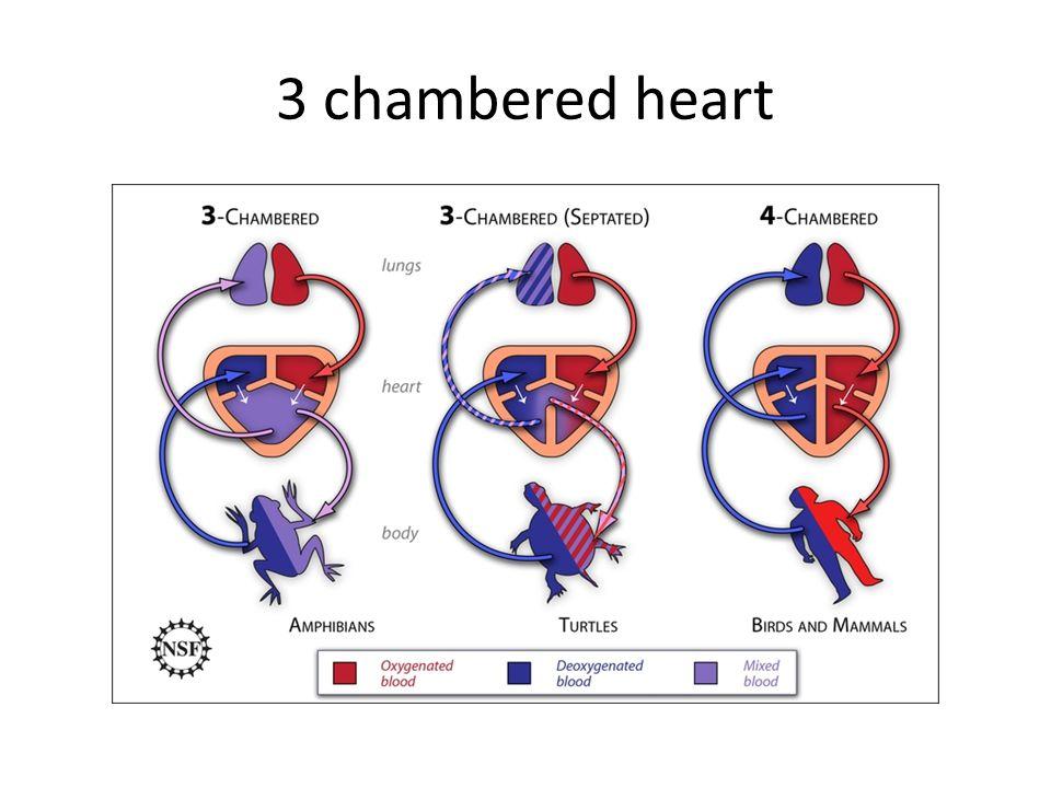 3 chambered heart