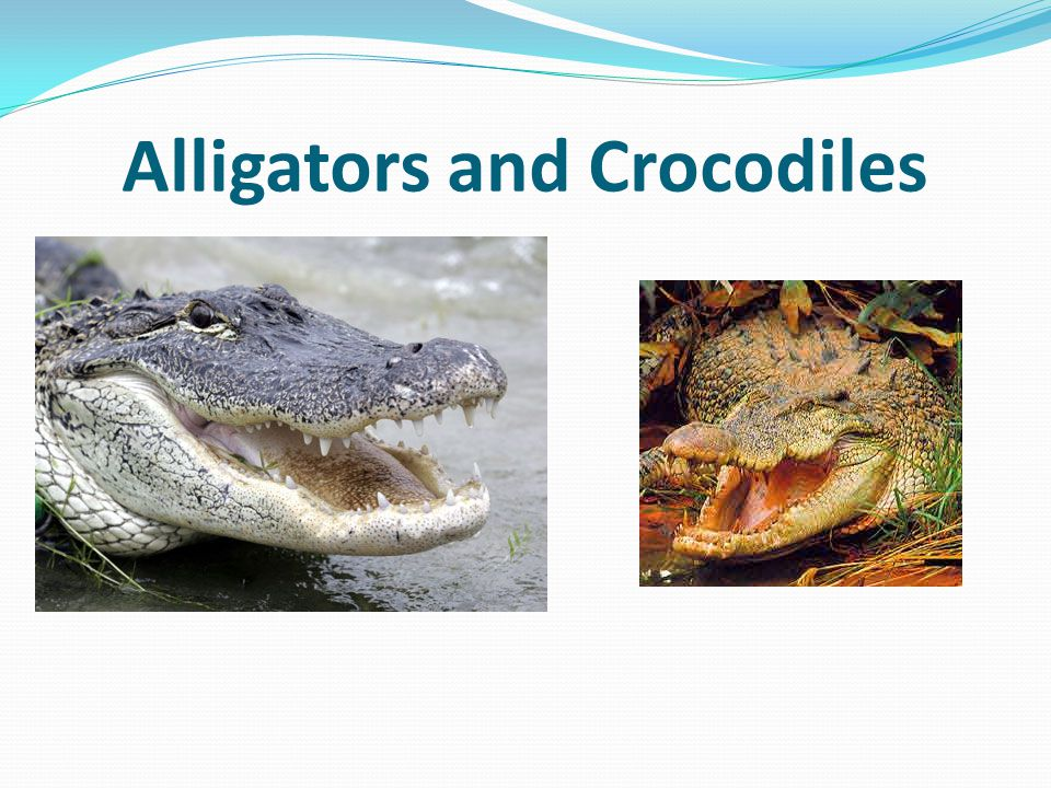 REPTILES They have lungs Covered with Scales Lay hard shelled eggs Cold blooded Some have shells Lizards, snakes, turtles, crocodiles, alligators