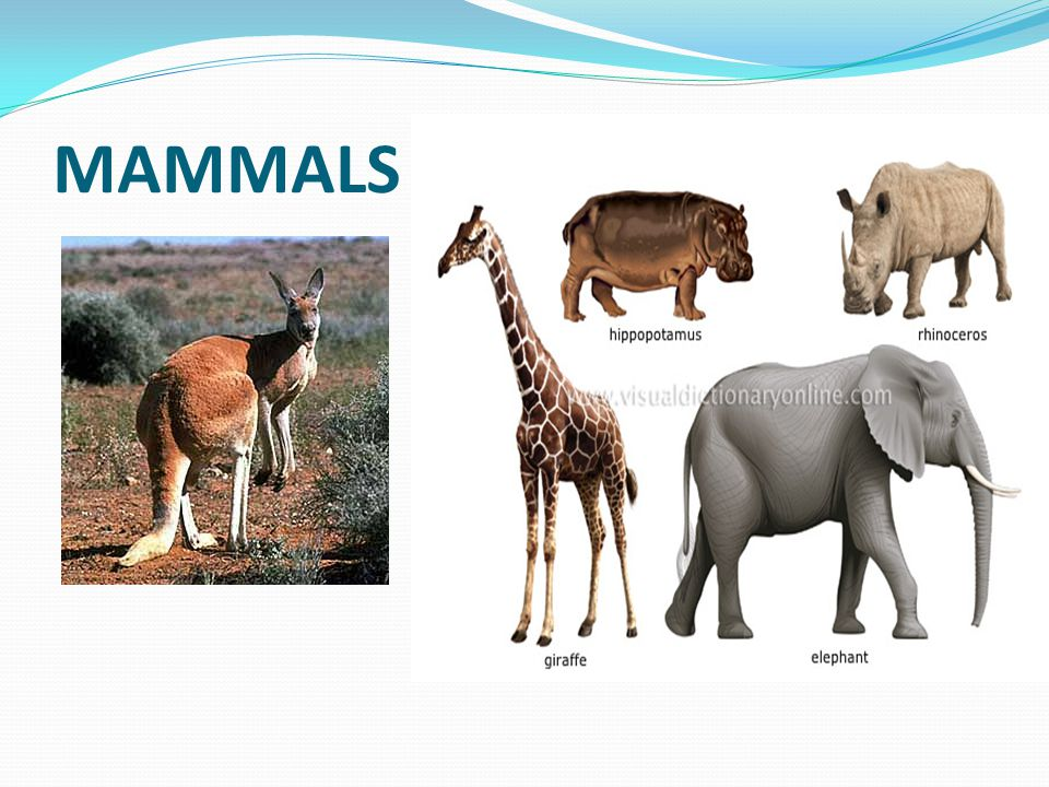 MAMMALS Have lungs Have hair or fur Have live births Produce milk Warm blooded