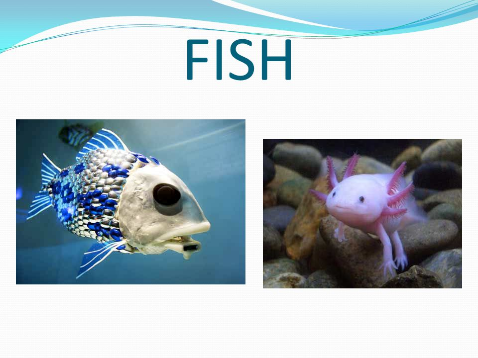 FISH Breathe through a set of gills Covered with hard scales Reproduce by laying soft, non-shelled eggs Cold blooded