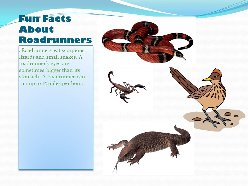Fun Facts About Roadrunners. Roadrunners eat scorpions, lizards and small snakes.