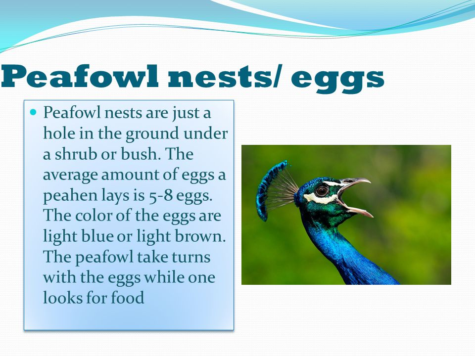 Peafowl nests/ eggs Peafowl nests are just a hole in the ground under a shrub or bush.
