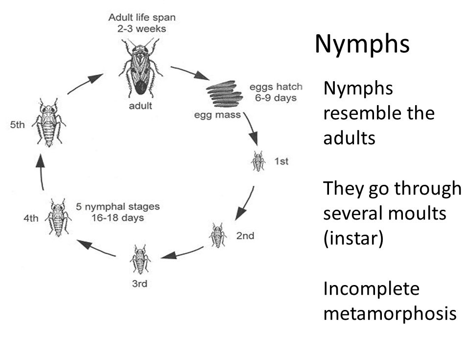 Nymphs Nymphs resemble the adults They go through several moults (instar) Incomplete metamorphosis