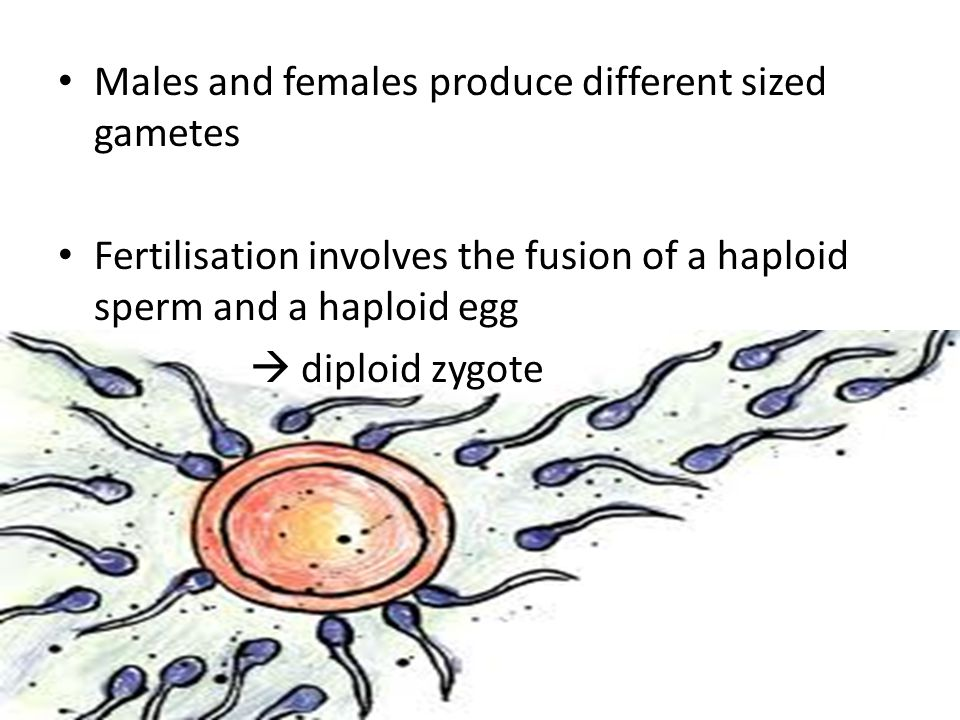 Males and females produce different sized gametes Fertilisation involves the fusion of a haploid sperm and a haploid egg diploid zygote