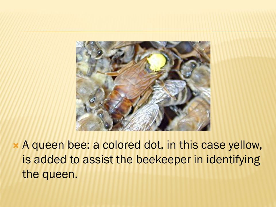 A queen bee: a colored dot, in this case yellow, is added to assist the beekeeper in identifying the queen.