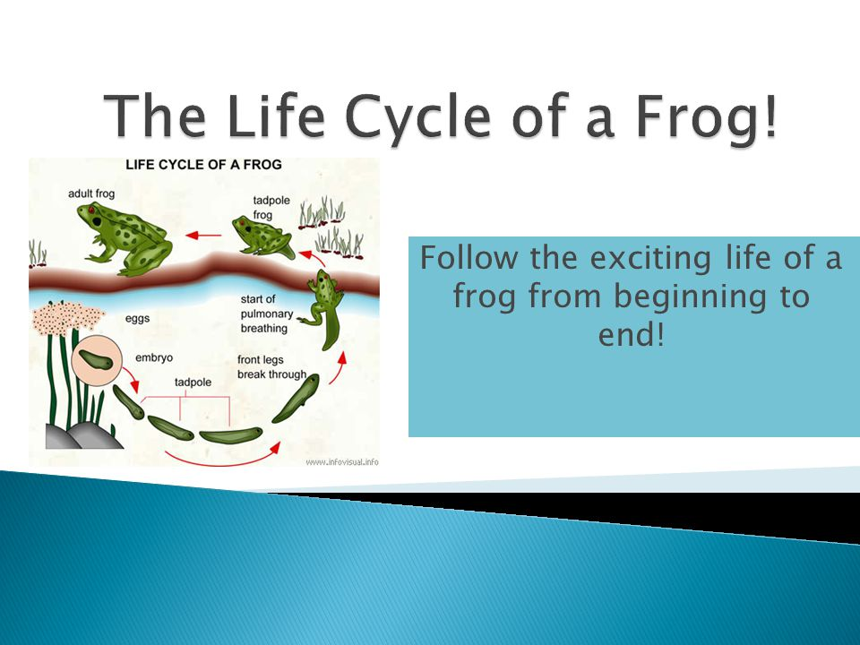 Follow the exciting life of a frog from beginning to end!