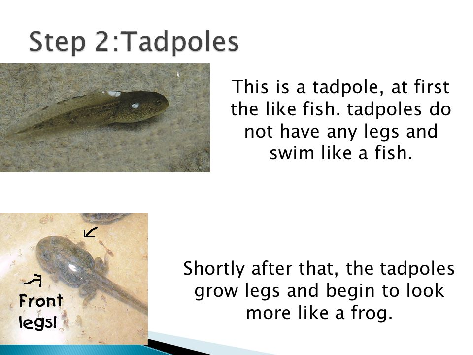 This is a tadpole, at first the like fish. tadpoles do not have any legs and swim like a fish. Shortly after that, the tadpoles grow legs and begin to
