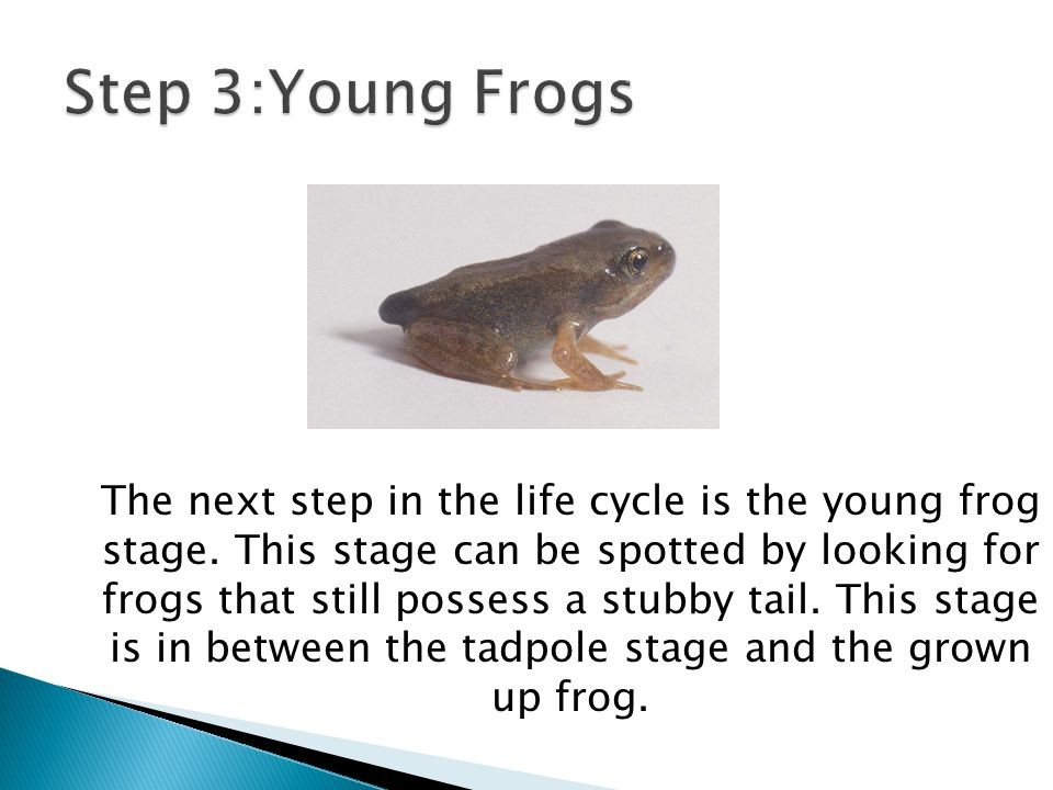 The next step in the life cycle is the young frog stage. This stage can be spotted by looking for frogs that still possess a stubby tail. This stage i