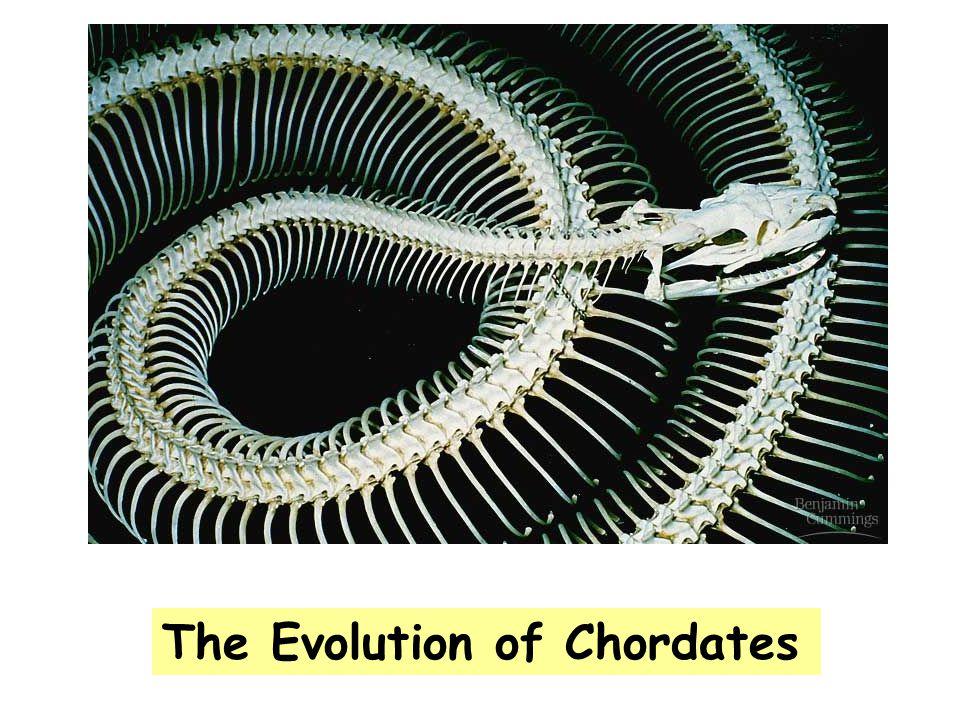 Phylum Chordata belongs to clade Deuterostomata.