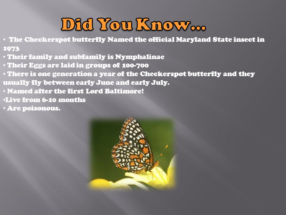 The Checkerspot butterfly Named the official Maryland State insect in 1973 Their family and subfamily is Nymphalinae Their Eggs are laid in groups of 100-700 There is one generation a year of the Checkerspot butterfly and they usually fly between early June and early July.