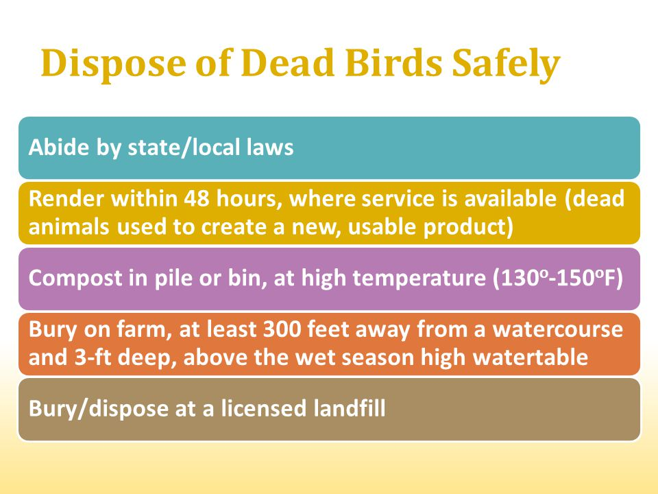 Dispose of Dead Birds Safely Abide by state/local laws Render within 48 hours, where service is available (dead animals used to create a new, usable product) Compost in pile or bin, at high temperature (130 o -150 o F) Bury on farm, at least 300 feet away from a watercourse and 3-ft deep, above the wet season high watertable Bury/dispose at a licensed landfill