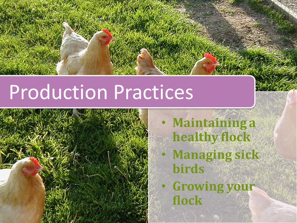 Maintaining a healthy flock Managing sick birds Growing your flock Production Practices