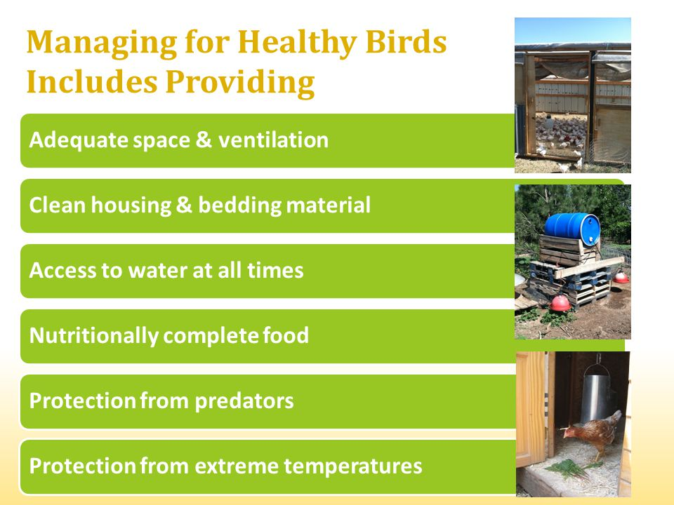 Adequate space & ventilationClean housing & bedding materialAccess to water at all timesNutritionally complete foodProtection from predatorsProtection from extreme temperatures Managing for Healthy Birds Includes Providing