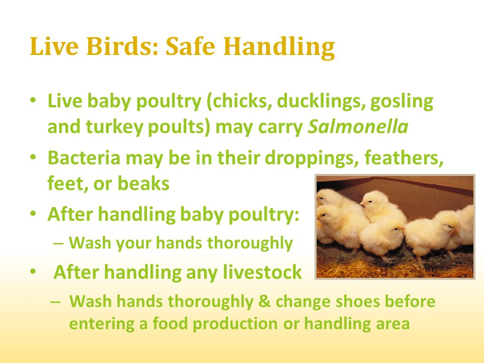 Live baby poultry (chicks, ducklings, gosling and turkey poults) may carry Salmonella Bacteria may be in their droppings, feathers, feet, or beaks Aft