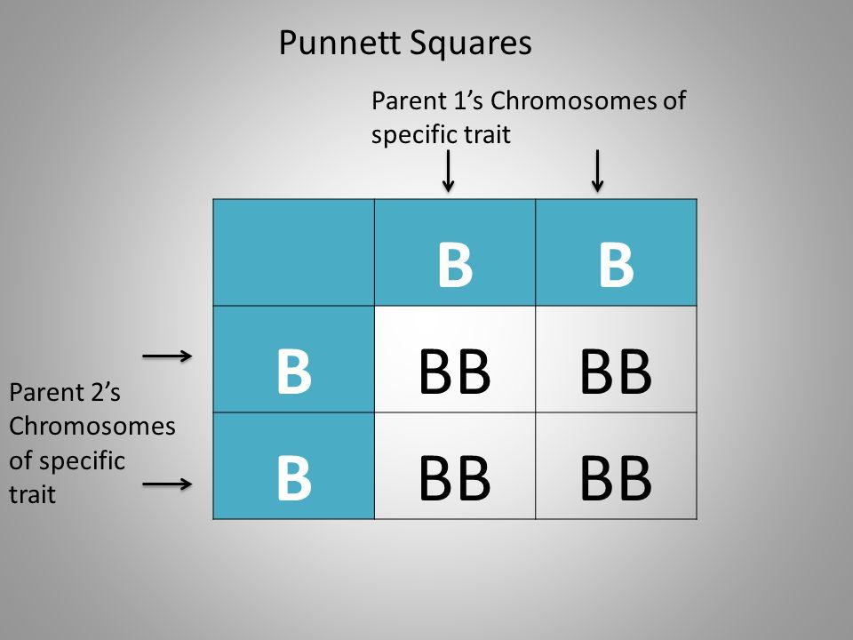 Punnett Squares BB BBB B Parent 1s Chromosomes of specific trait Parent 2s Chromosomes of specific trait