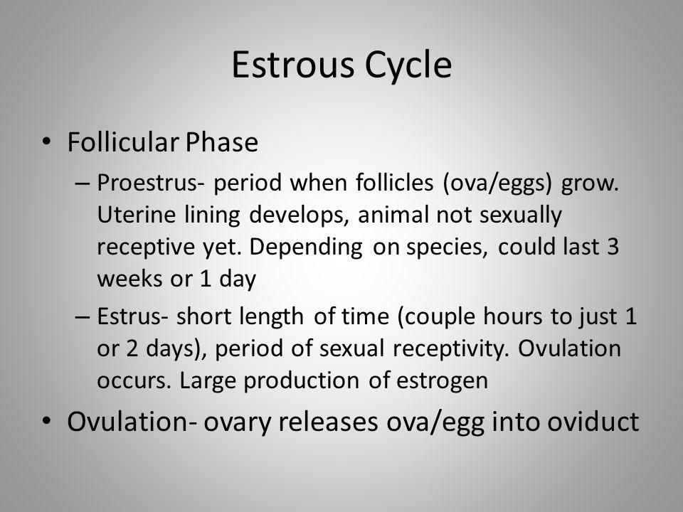 Estrous Cycle Follicular Phase – Proestrus- period when follicles (ova/eggs) grow. Uterine lining develops, animal not sexually receptive yet. Dependi