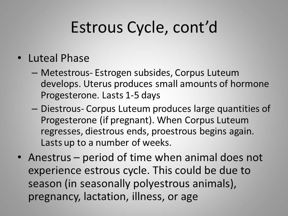 Estrous Cycle, contd Luteal Phase – Metestrous- Estrogen subsides, Corpus Luteum develops. Uterus produces small amounts of hormone Progesterone. Last
