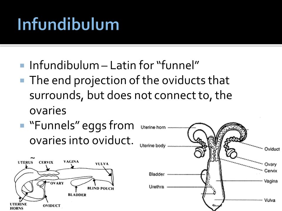 Infundibulum – Latin for funnel The end projection of the oviducts that surrounds, but does not connect to, the ovaries Funnels eggs from ovaries into