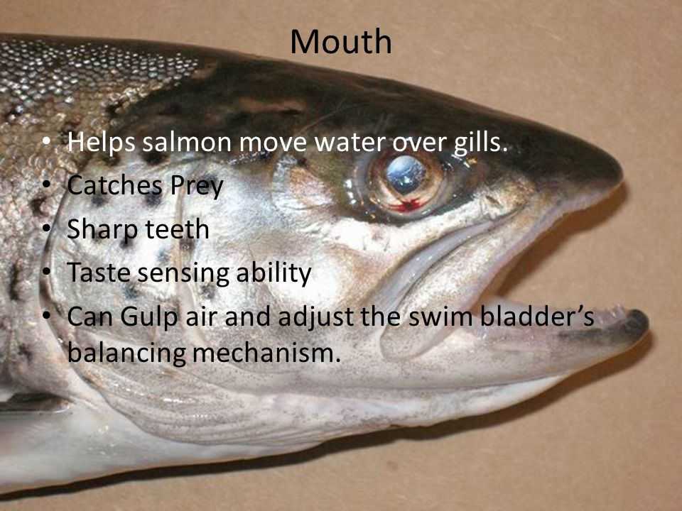 Mouth Helps salmon move water over gills.