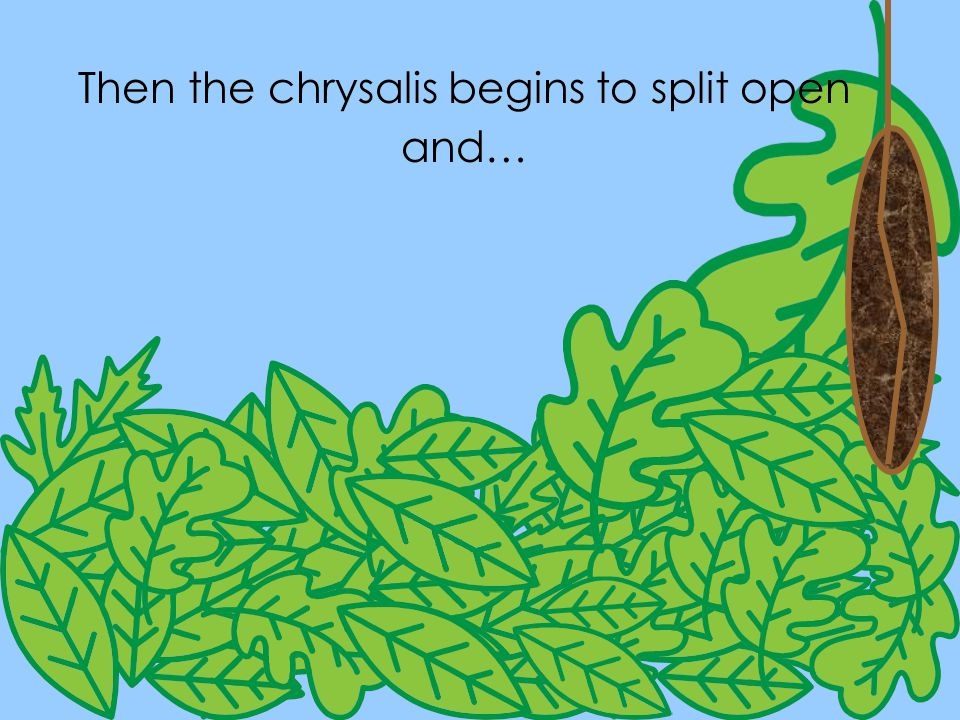 Then the chrysalis begins to split open and… Then the chrysalis begins to split open and…