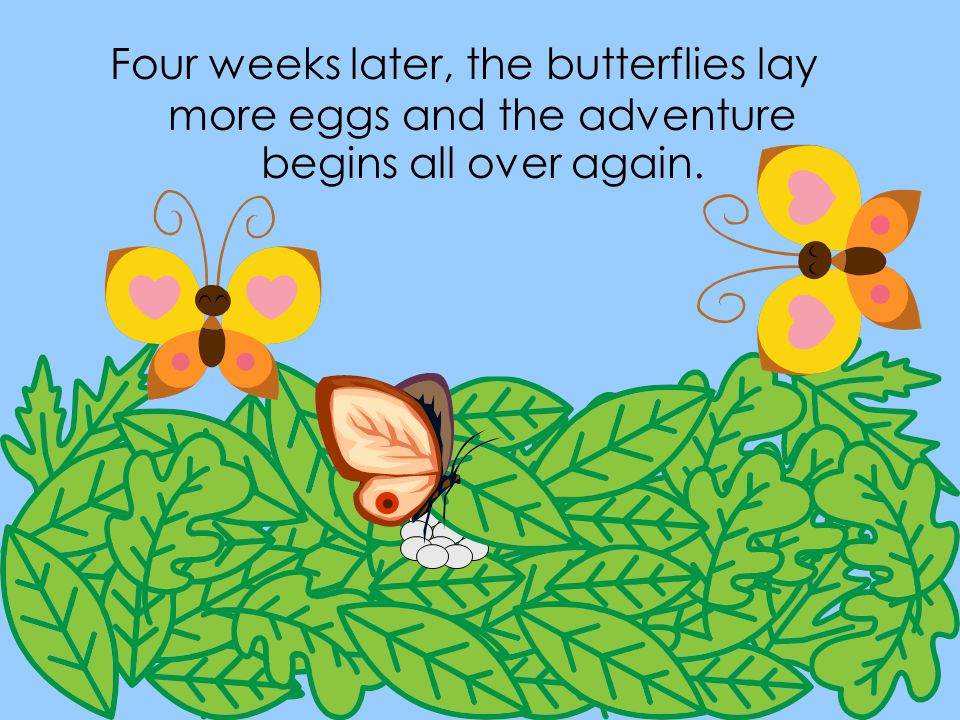 Four weeks later, the butterflies lay more eggs and the adventure begins all over again.