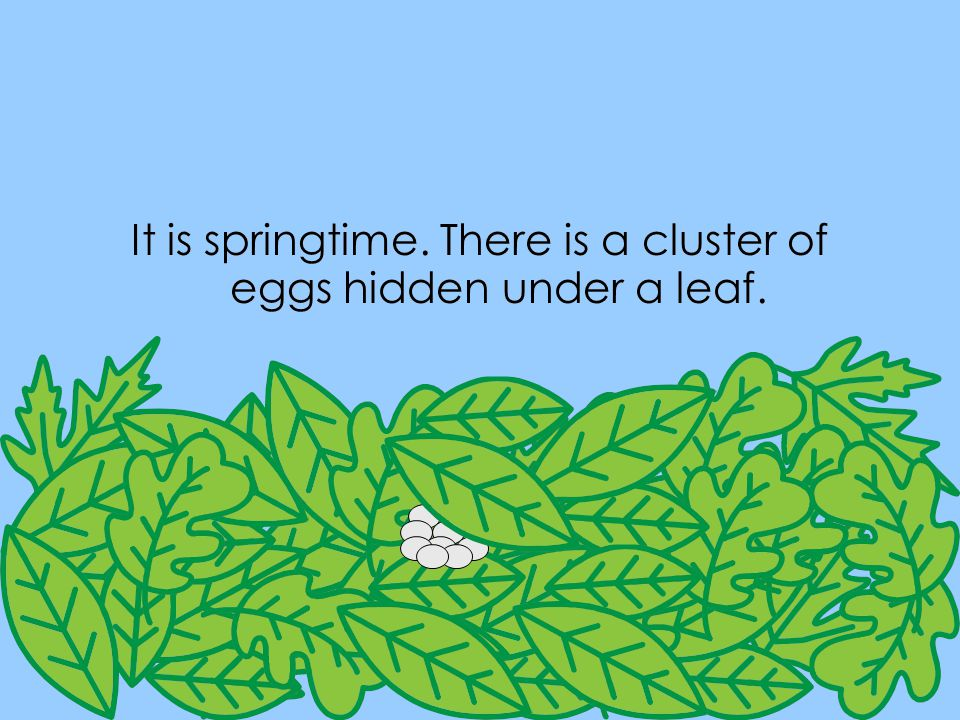 It is springtime. There is a cluster of eggs hidden under a leaf.