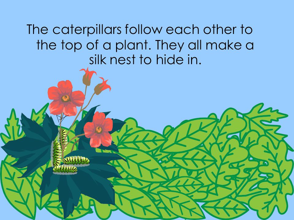 The caterpillars follow each other to the top of a plant. They all make a silk nest to hide in.