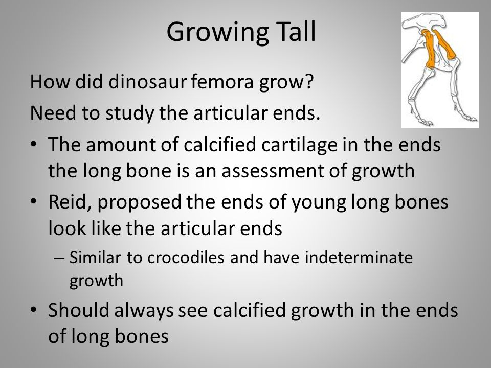 Growing Tall How did dinosaur femora grow? Need to study the articular ends. The amount of calcified cartilage in the ends the long bone is an assessm