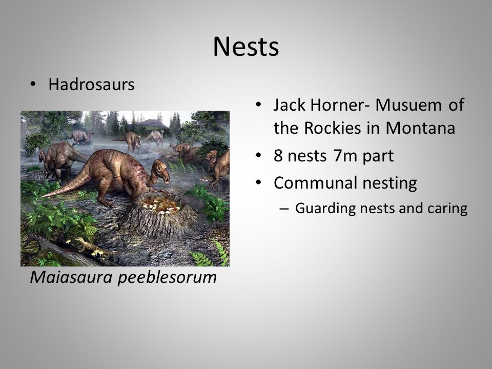 Nests Hadrosaurs Maiasaura peeblesorum Jack Horner- Musuem of the Rockies in Montana 8 nests 7m part Communal nesting – Guarding nests and caring