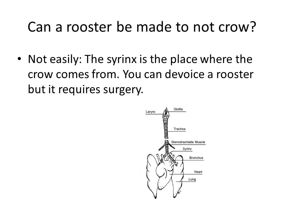 Can a rooster be made to not crow? Not easily: The syrinx is the place where the crow comes from. You can devoice a rooster but it requires surgery.