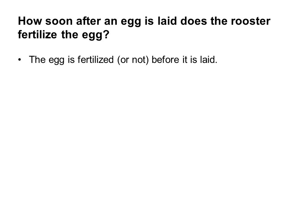 How soon after an egg is laid does the rooster fertilize the egg? The egg is fertilized (or not) before it is laid.
