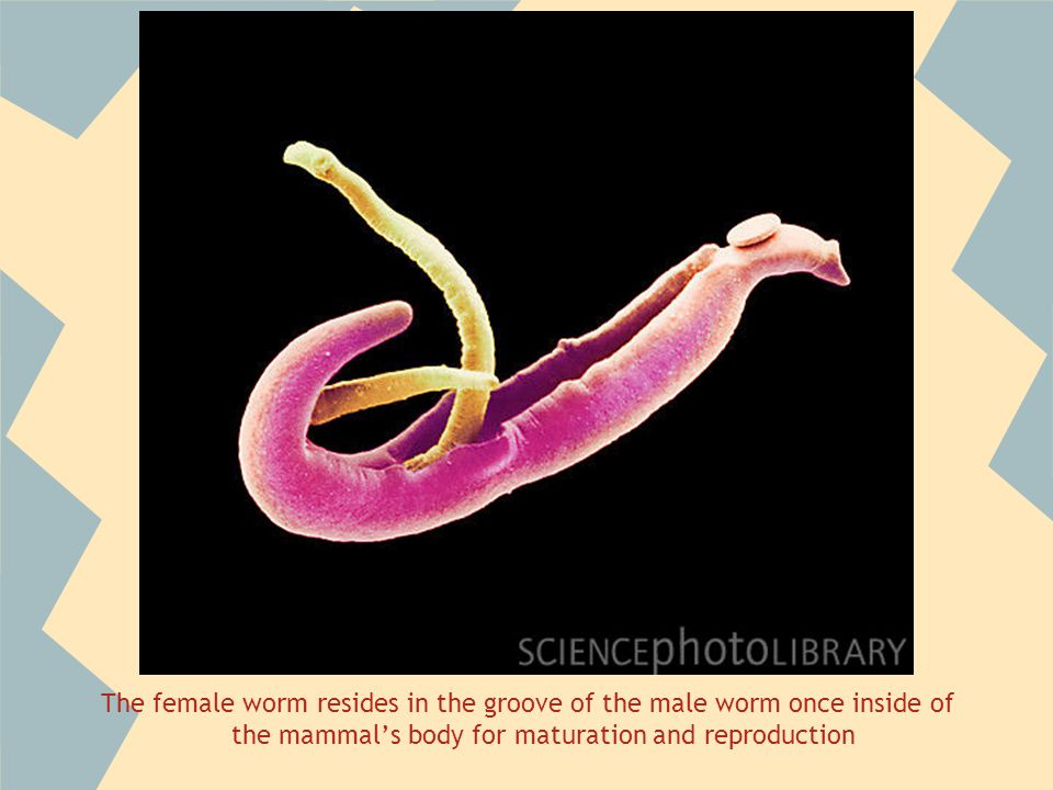The female worm resides in the groove of the male worm once inside of the mammals body for maturation and reproduction